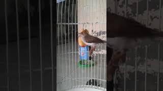 Yuhina burung masteran yang lagi ngetren