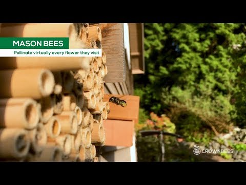 Mason Bees pollinate nearly every flower they visit (slow-motion)