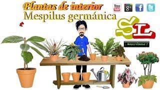 Mespilus germánica Níspero europeo Plantas para interior Plantas de casa