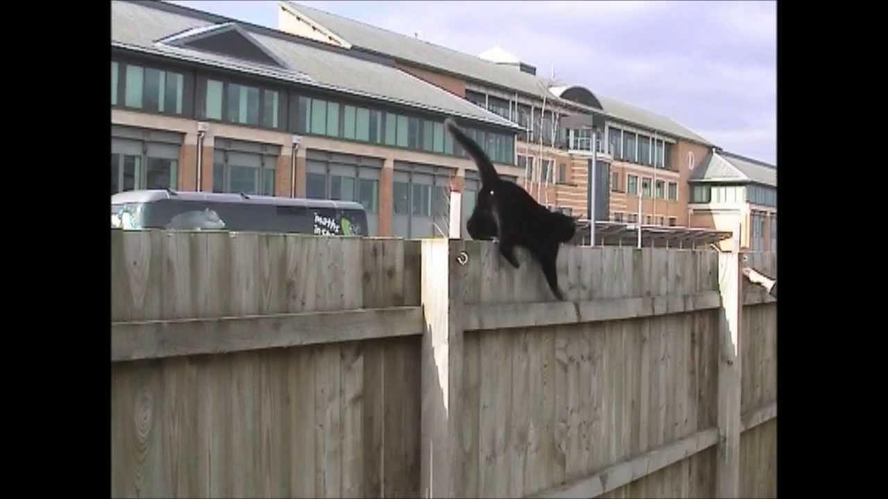funniest cat fence walk