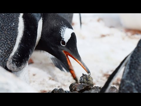 Gentoo Penguins Build Love Nests!   Penguin Post Office   BBC Earth