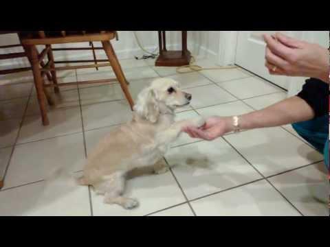 Dachshund / Cocker Spaniel mix - Bella 3