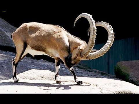 National animal of Pakistan Markhor in Quetta cattle market