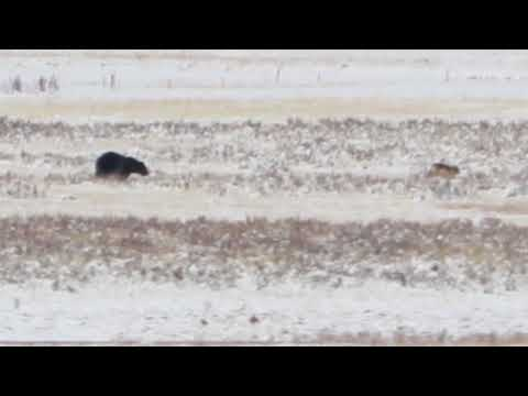 Grizzly Chasing Wolves in Yellowstone