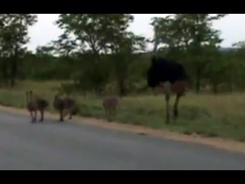 Kruger Sightings - Ostrich Family Runnin In The Road - 6 December 2011