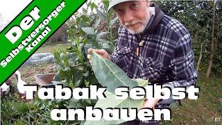 Tabak selbst anbauen