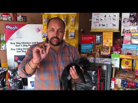 How to Check Labrador Purity