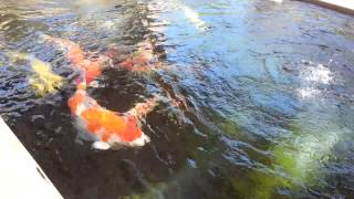 Biggest KOI in the world