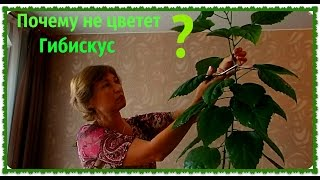 Гибискус (Китайская роза).  Как размножить гибискус. Обрезка гибискуса.(Как ухаживать за гибискусом в домашних условиях. Почему гибискус не цветет. Все что знаю, расскажу. Мой..., 2015-07-02T09:38:35.000Z)