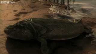 Tiktaalik's First Steps - David Attenborough's Rise of the Animals: Triumph of the Vertebrates - BBC