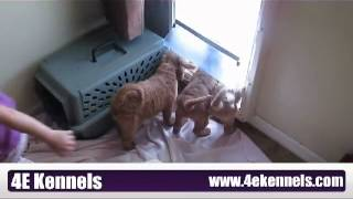 Goldendoodle Puppies start outdoor potty training.avi