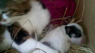 Щенок сосёт  сиську у кошки