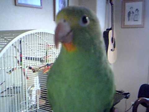 Cobalt Winged Parakeet flies on command