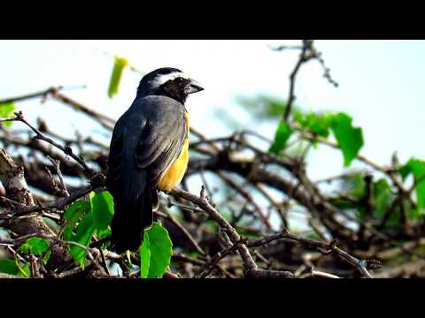 Saltator orenocensis, Orinocan Saltator, Orinoco Saltator in Birding at  Caribbean Region