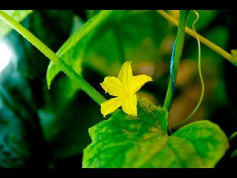видео: Огурец на гидропонике, сбор урожая