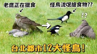 【台北都市12大怪鳥!】敢調戲老鷹的流氓怪鳥?科學怪鳥?跳舞怪?紅眼地獄使者?【許伯簡芝】【從零開始養】賞鳥
