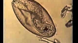 Плоские черви 2