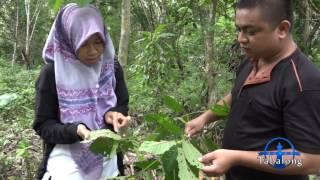 Ragam Tabalong (Eps. Teh Herbal Daun Sapat) Part 1 of 3 #TV Tabalong