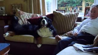 Bernese Mountain Dog Jesterbrock Just Beautiful - Our Wonderful Winnie Girl