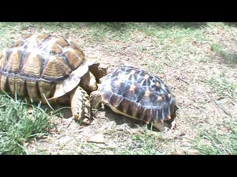 Sulcata Tortoise fighting! - YouTube