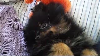 Cute Fluffy Puppy Jack Plays With Orange Bear 1/3