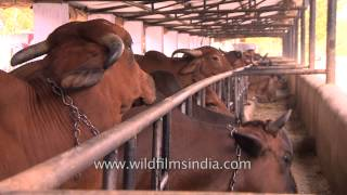 The cow farms and dairies that provide milk to 1.20 billion Indians
