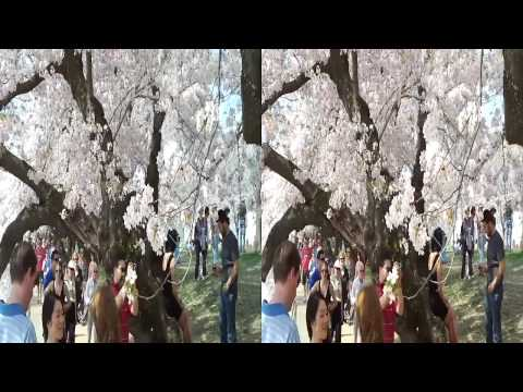 A Walk Around the Tidal Basin During Peak Bloom of the Cherry Blossons