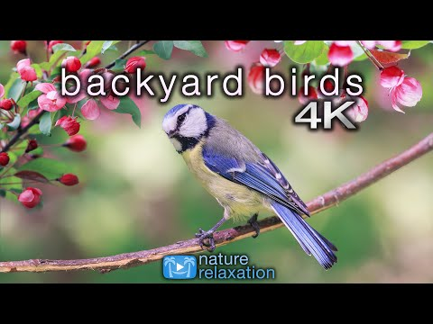 Backyard Birds (4K) 2 Hour Ambient Nature Film With Real Bird Sounds - Washington State
