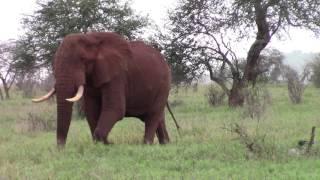Slonie ,safari,Elephant with three trumpets:D