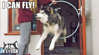 HUSKY Tries to go Through the WALL Instead of HOOP!
