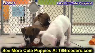 Boxer, Puppies, For, Sale, In, Edmond, Oklahoma, Ok, Cleveland, Comanche, Canadian, Rogers, Payne, P