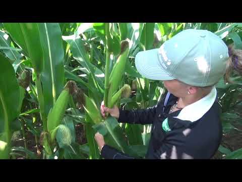 Corn School -  Double Cobs