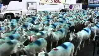 transhumance moutons à Saint Lary Soulan le 6 juin 2009
