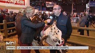 ANIMAUX : La vache Normande, belle des champs