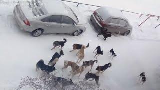 Стаи собак в Ревде - это норма.... Кто несёт ответственность за это?!