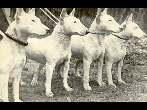 Miniatur Bull Terrier Bully Mini Dog Hund Pet Haustier