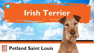 Irish Terrier Puppies | Fun Facts & Personality Traits
