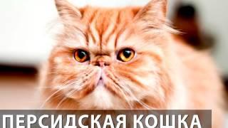 Порода кошек. Персидская кошка.Милое,прелестное существо,которое не будет Вам безразлично