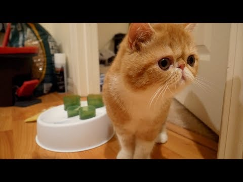 BRINGING HOME OUR EXOTIC SHORTHAIR KITTEN | SVEN & ROBBIE
