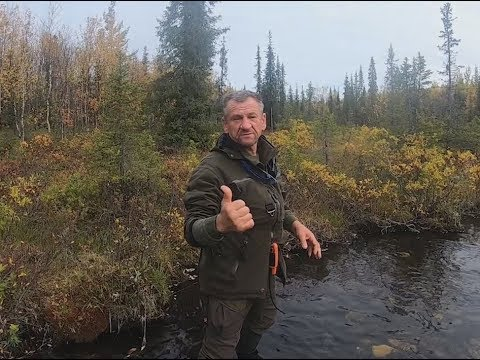 Новый сезон охоты на медведя с лайками и первые трофеи.