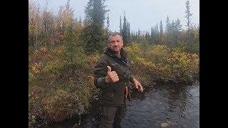 Новый сезон охоты на медведя с лайками и первые трофеи