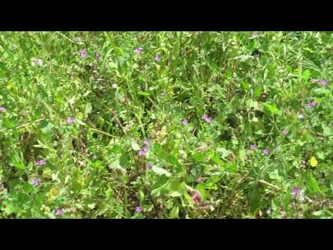 Вопрос: Что за растение аистник Чем оно интересно Как выглядит?