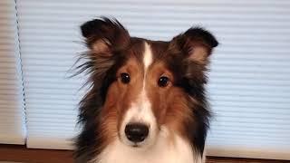 Woodruff Shelties Ear Trimming