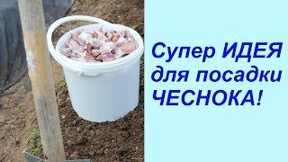 Особенности посадки зимнего чеснока в Сибири