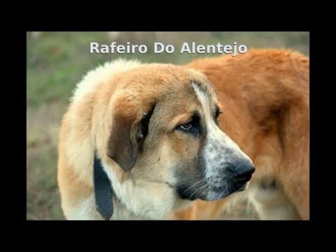 Rafeiro Do Alentejo - dog breed