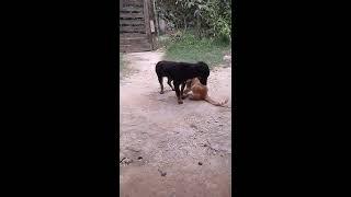 Gato hace sexo oral a perro, animales Gay :v jajaja - Cat makes oral sex a dog, gay animals