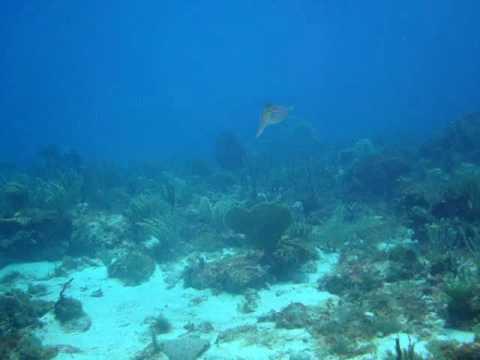 Reef Squid - Antigua