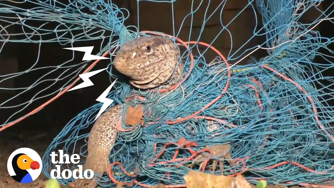 Guys Find Huge Lizard Tangled Up In Netting | The Dodo