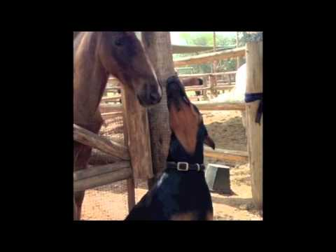 Doberman dog and horse are best friends