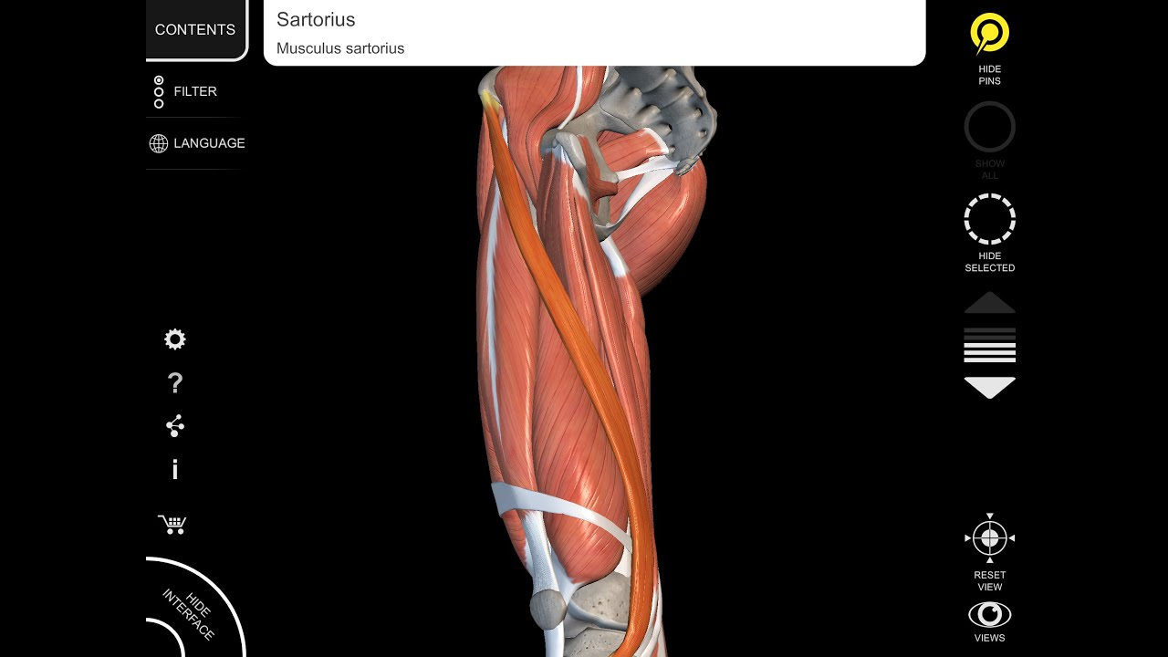 Sartorius muscle - 3D Anatomy origin insertion - YouTube